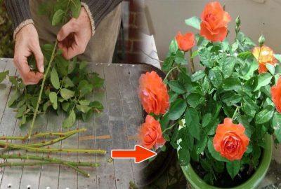 Cách đơn giản để biến 1 cành hồng thành 1 cây hồng nở đầy hoa chỉ sau vài ngày