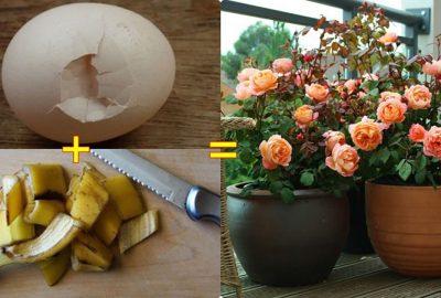 Cách để cứu cả vườn hoa héo trở nên tươi rói chỉ dùng vỏ trứng và Chuối rất đơn giản