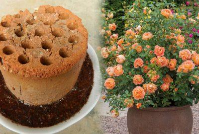 Chỉ 2 tháng dùng xỉ than tổ ong, chậu hoa hồng đã cao lớn vùn vụt, ra hoa đầy cả cây