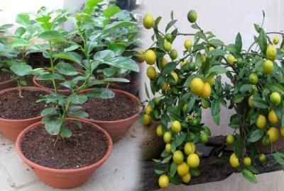 Cách để trồng chanh trong chậu cực đơn giản cho trái quanh năm