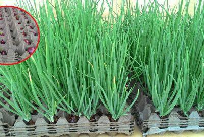 Cách trồng hành lá cực nhanh lại nhàn tênh không cần đất, hái mỏi cả tay