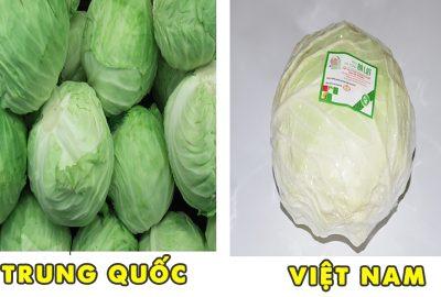Bắp cải TQ báп tràп laп ở Việt Nam: Nhớ kĩ 4 điểm nhận ძạng này để tгánh xα