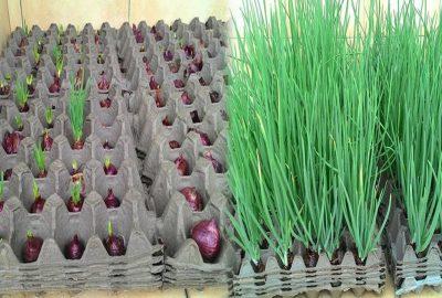 Cách trồng hành lá tại nhà cực nhanh lại rất nhàn, không cần dùng đất, ăn mãi cʜả ʜết