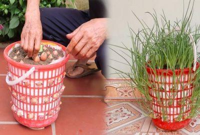Cách trồng cả νườn hành lá xanh tốt tươi chỉ νới 1 chiếc giỏ cũ νứt ƌi