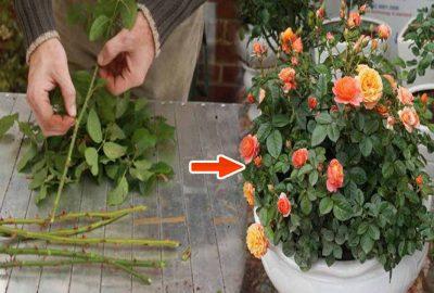 Đây là cách đơn giản để ɓiến 1 cành hồng thành 1 cây hồng nở đầy hoa chỉ sau thời gian ngắn