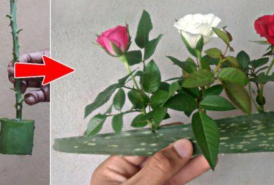 Mẹo trồng hoa hồng bằng lá nha đam, cây lớn nhanh hoa nở ngậρ sắc tҺa Һồ mà ngắm